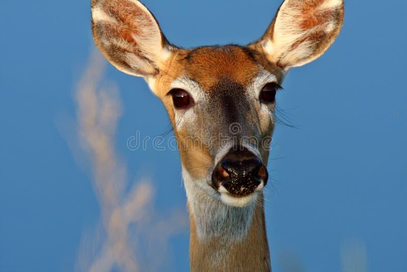 Close up da corça atada branca dos cervos foto de stock