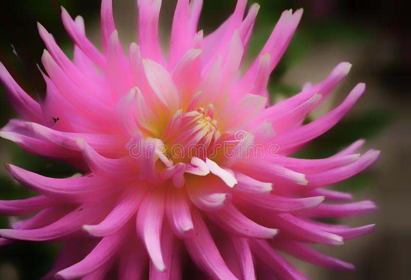 close-up da cor do rosa da flor da dália fotografia de stock
