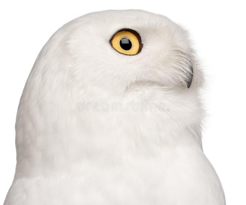Close-up da coruja nevado masculina, scandiacus do bubão, 8 anos velho fotografia de stock royalty free