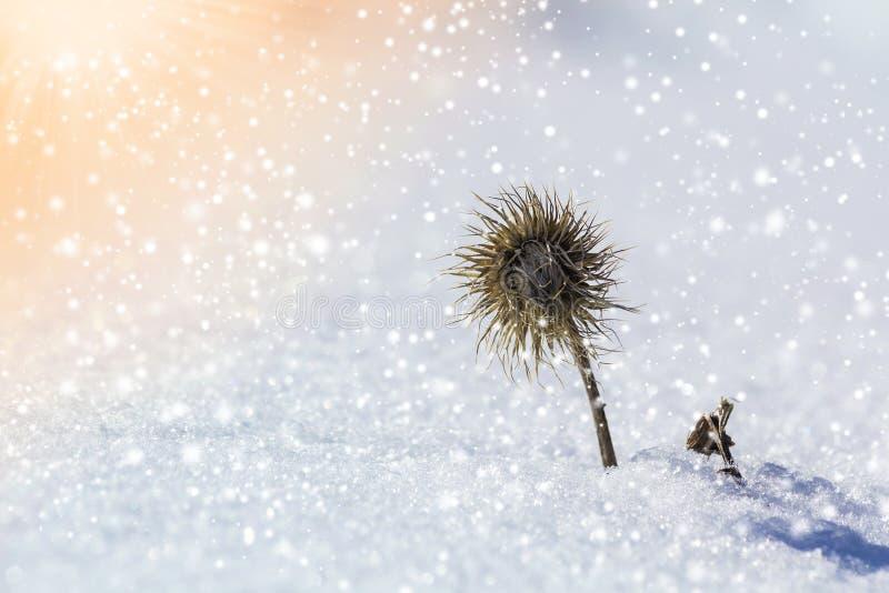 Close-up da erva daninha farpada estranha murcho preta secada da planta da erva coberta com a neve e a geada no campo vazio frio  fotografia de stock royalty free