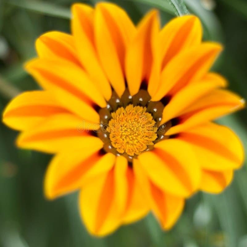 Close up da flor alaranjada no jardim pela baía, Singapura imagem de stock