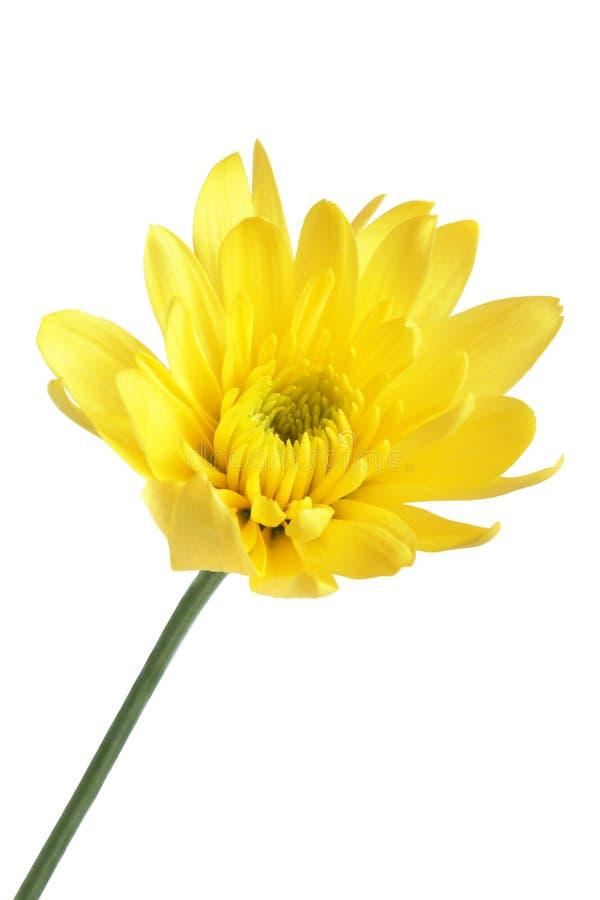 Close up da flor amarela fotografia de stock