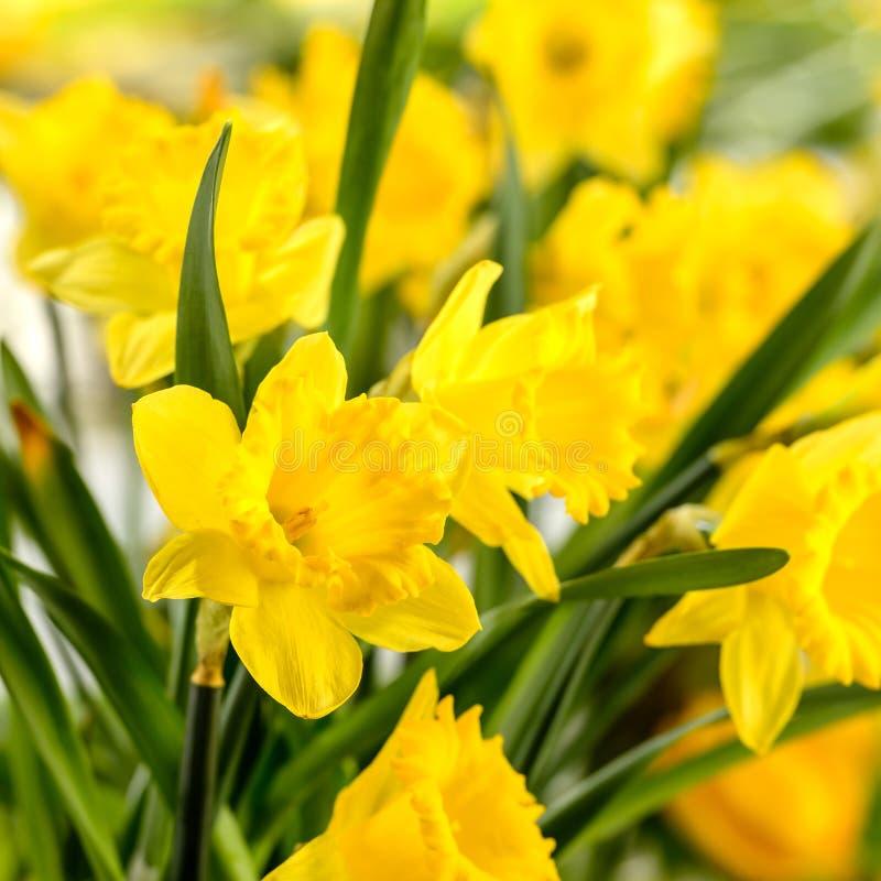 Close-up da flor amarela da mola do narciso foto de stock