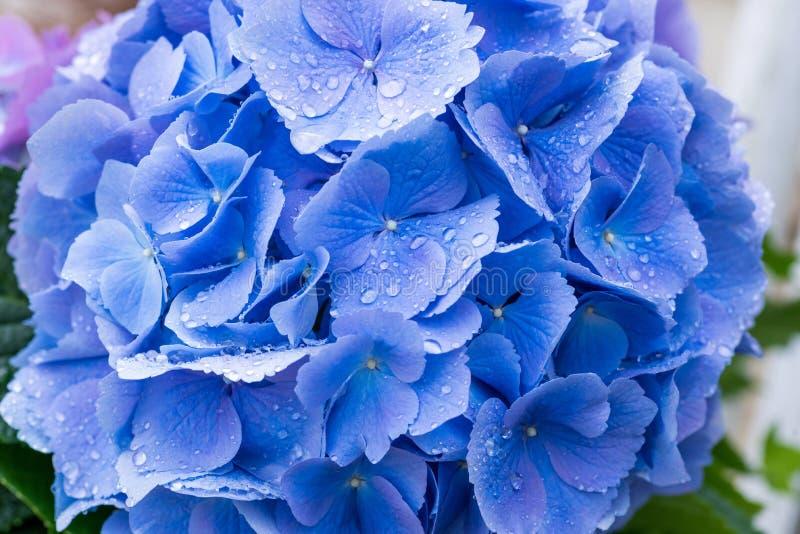 Close up da flor azul da hortênsia imagem de stock