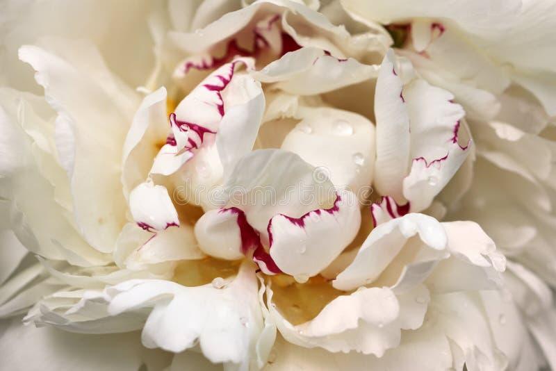 Close-up da flor branco-cor-de-rosa do paeony da peônia imagem de stock