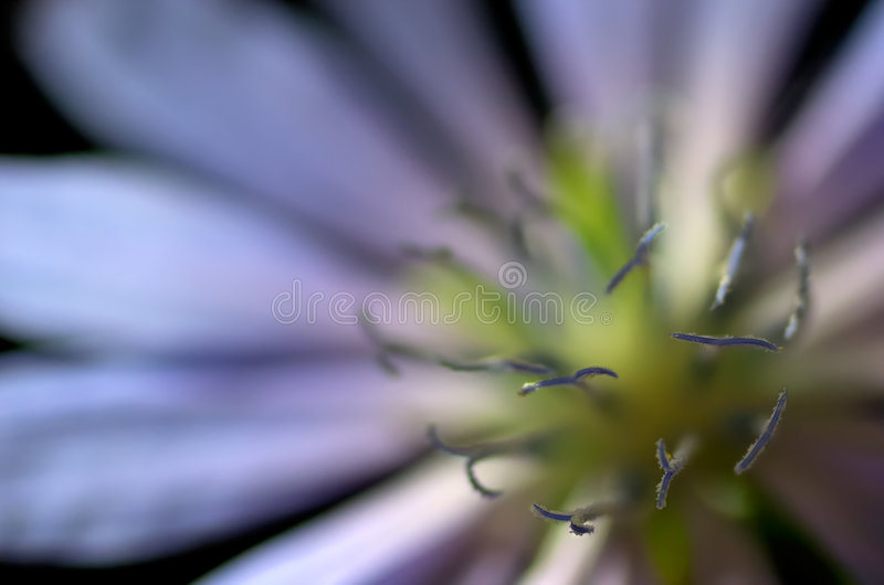 Close-up da flor comum da chicória (intybus do Cichorium) fotos de stock royalty free