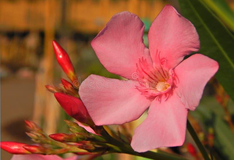 Close up da flor cor-de-rosa fotos de stock