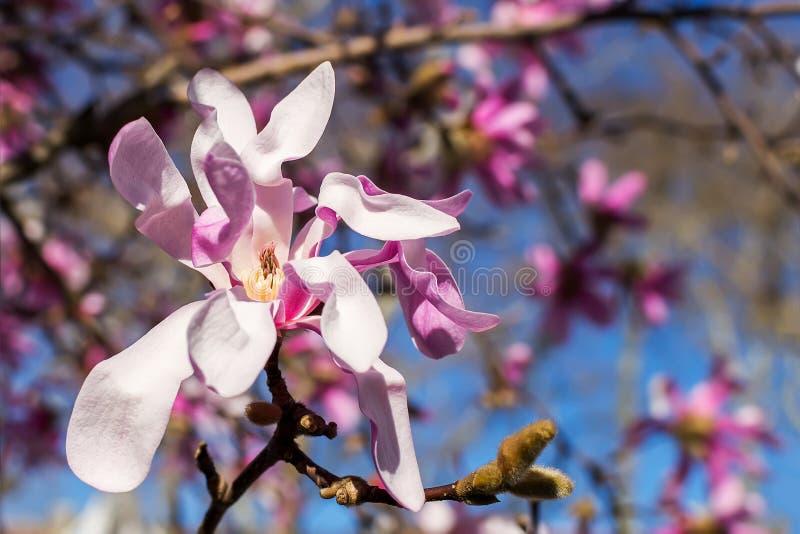 Close-up da flor cor-de-rosa bonita da magn?lia em um fundo do c?u azul brilhante Floresc?ncia da ?rvore da magn?lia em um dia de imagem de stock royalty free