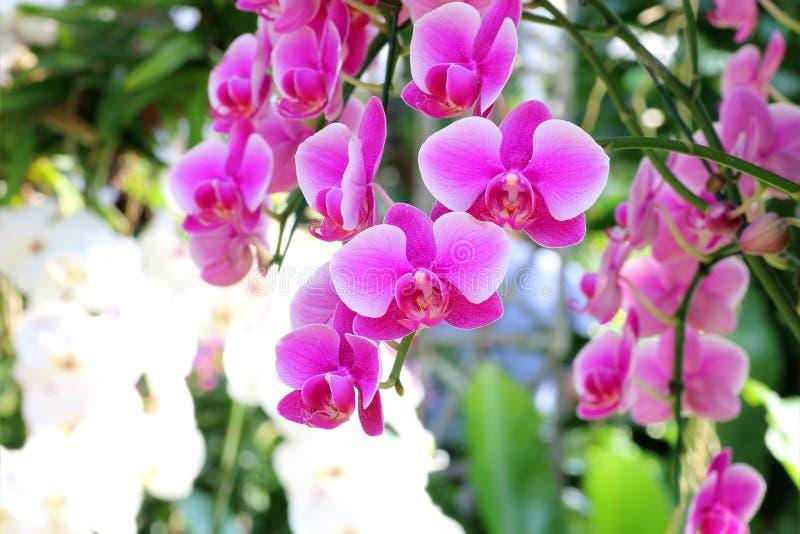 Close-up da flor cor-de-rosa bonita da orquídea no jardim foto de stock royalty free