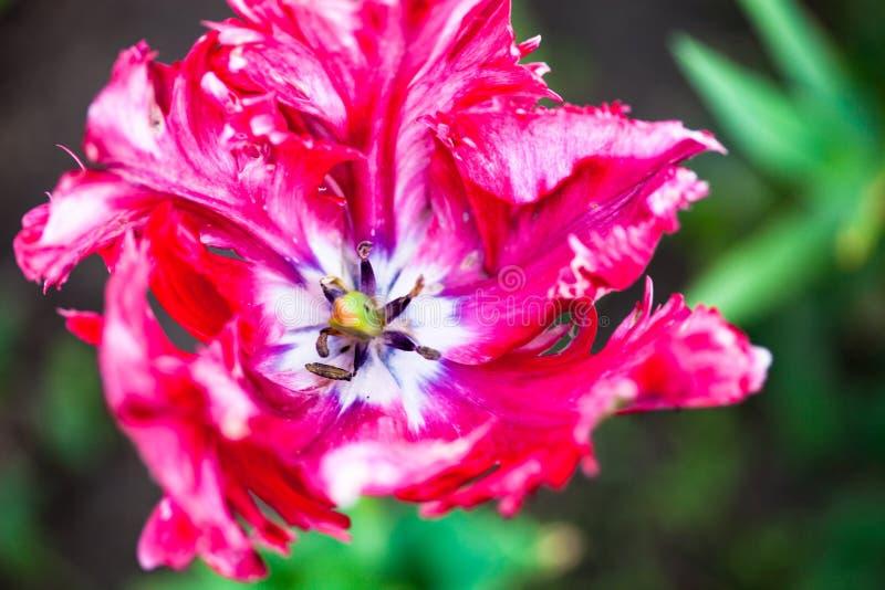 Close up da flor cor-de-rosa de florescência da tulipa fotografia de stock royalty free