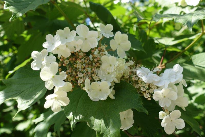 Close up da flor cor-de-rosa do guelder branco imagem de stock royalty free