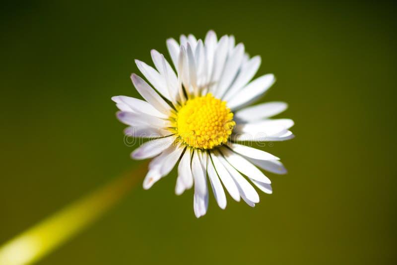 Close up da flor da margarida imagem de stock