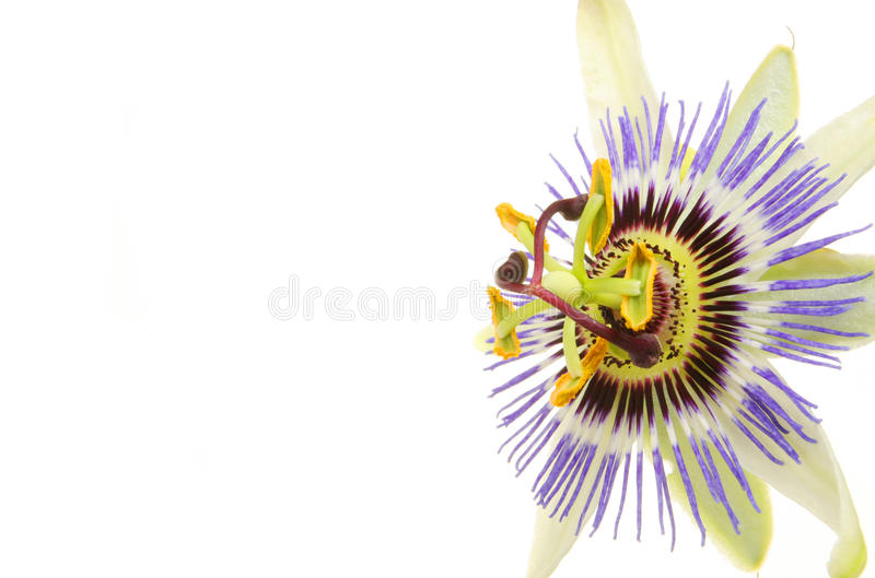 Close up da flor da paixão imagem de stock