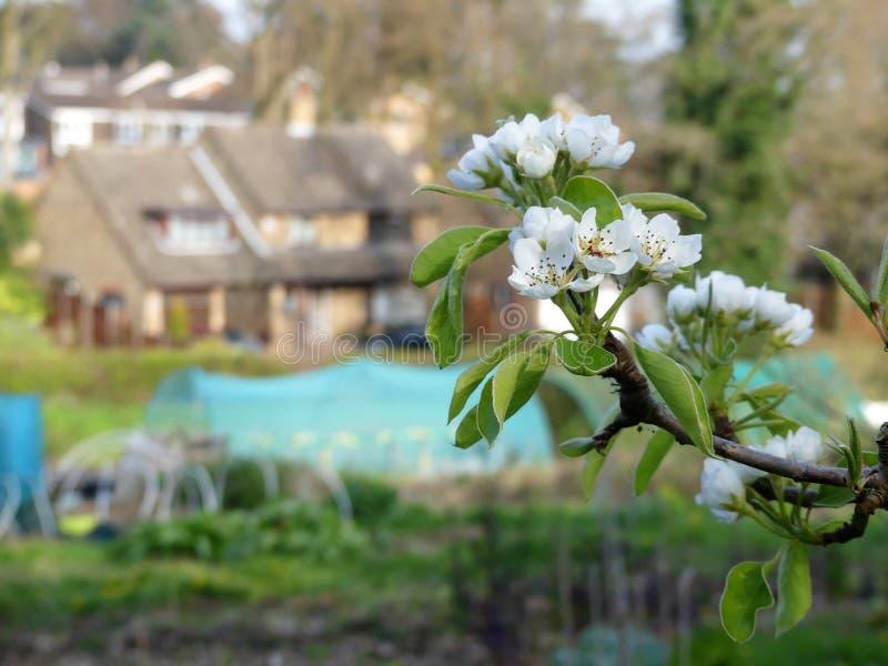 Close-up da flor de cerejeira com um fundo borrado do local e das casas da atribuição imagem de stock royalty free