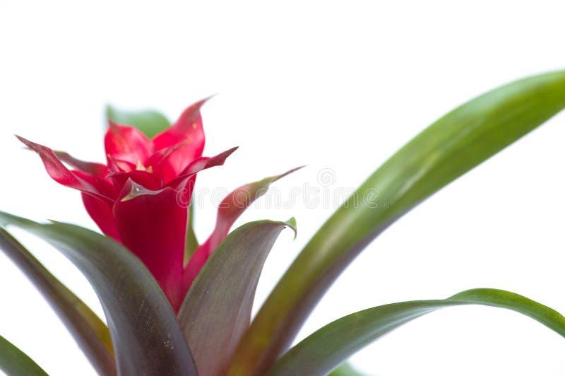 Close up da flor de Guzmania imagens de stock