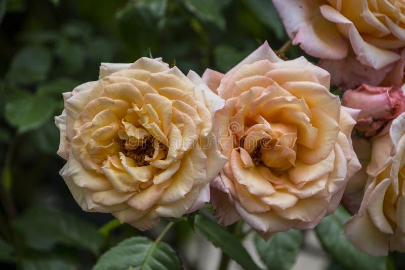 Close up da flor de Rosa Flor da mola de rosas amarelas imagens de stock