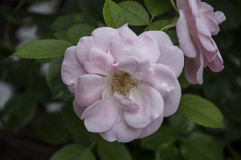 Close up da flor de Rosa Profundidade de campo rasa Flor da mola do close up branco da flor do roseRose Profundidade de campo ras foto de stock royalty free