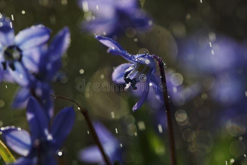 Close up da flor de Scilla com pingos de chuva fotografia de stock