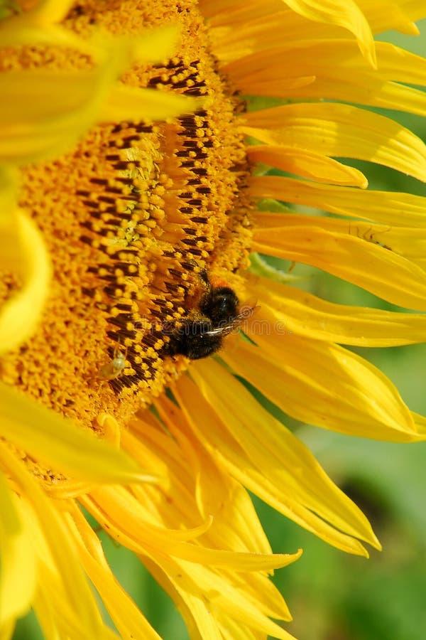 Close up da flor de Sun fotos de stock royalty free