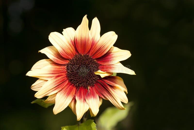 Close up da flor do áster Fundo preto imagens de stock