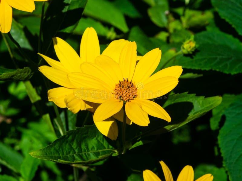 Close-up da flor do amarelo do tuberosus do tupinambo, do Sunroot, do Topinambour, da terra Apple ou do Helianthus, foco seletivo fotos de stock