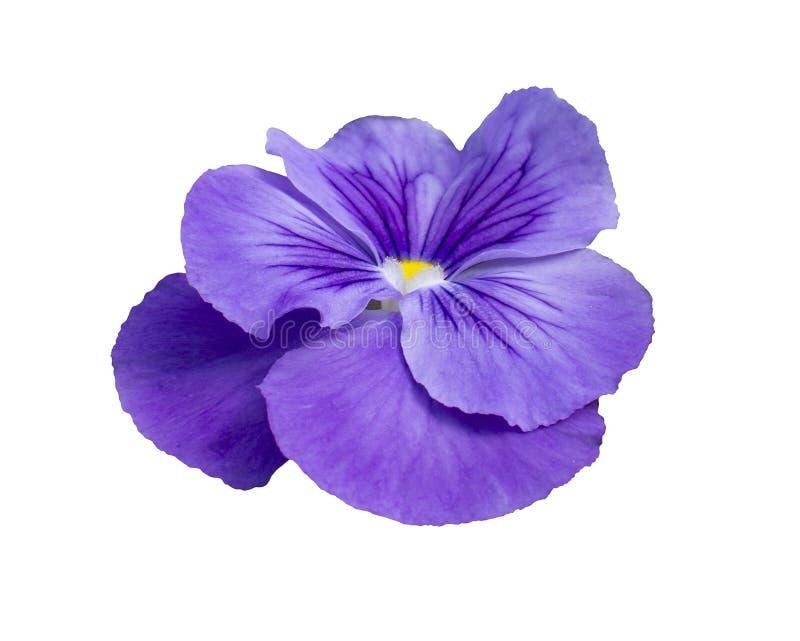 Close up da flor do amor perfeito imagem de stock