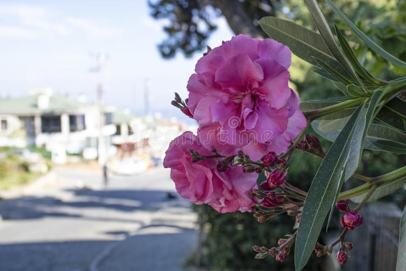 Close-up da flor do arbusto da azálea Opinião da rua e fundo borrado no dia ensolarado imagem de stock royalty free