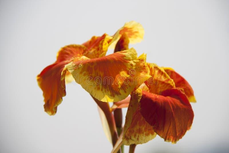 Close up da flor do canna do amarelo alaranjado na luz solar e no fundo branco do céu fotos de stock royalty free