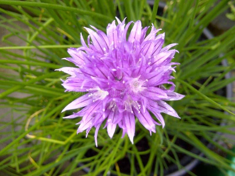 Close-up da flor do cebolinha foto de stock royalty free