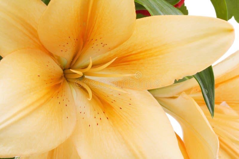 Close-up da flor do lírio fotografia de stock royalty free