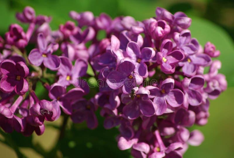 Close up da flor do Lilac fotos de stock royalty free
