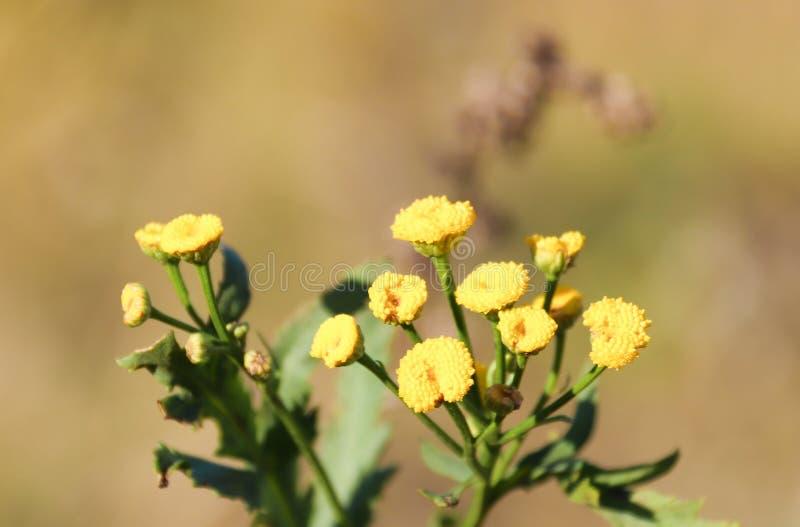 Close-up da flor do Tansy com efeito do bokeh Autumn Sadness imagem de stock