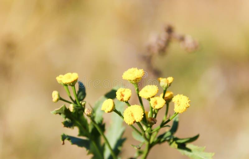 Close-up da flor do Tansy com efeito do bokeh Autumn Sadness fotografia de stock