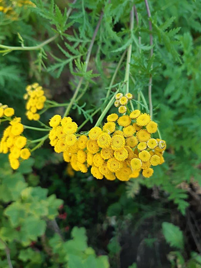 Close-up da flor do Tansy contra o céu foto de stock royalty free