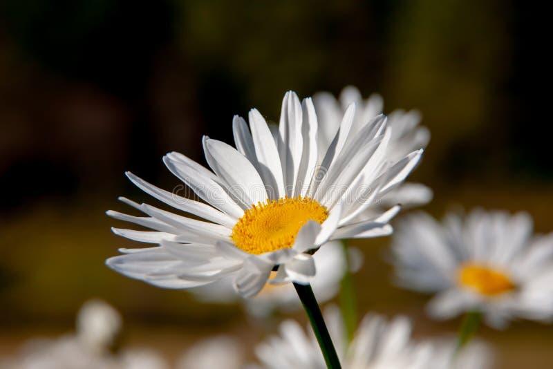 Close up da flor da margarida com pétala branca e pólen amarelo em um campo de flor com fundo borrado no dia ensolarado fotos de stock royalty free