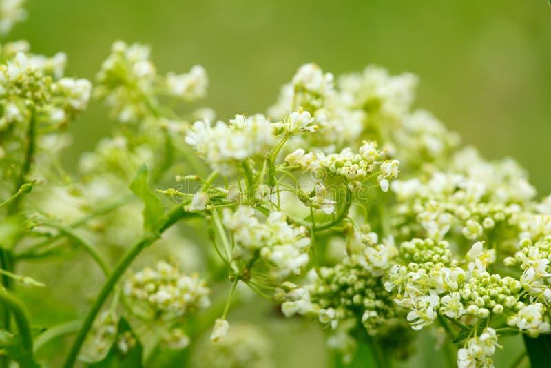 Close-up da flor selvagem branca pequena no fundo borrado imagens de stock royalty free