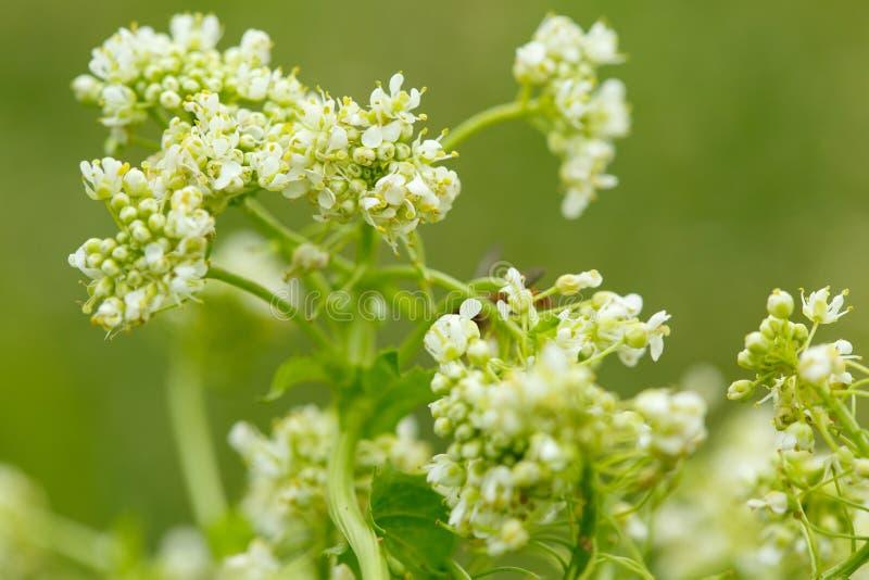 Close-up da flor selvagem branca pequena no fundo borrado imagens de stock