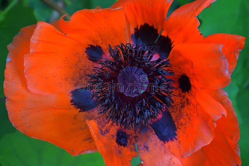 Close-up da flor vermelha da papoila dos rhoeas vermelhos do Papaver no campo do verão Fotografia macro da natureza no jardim da  imagens de stock