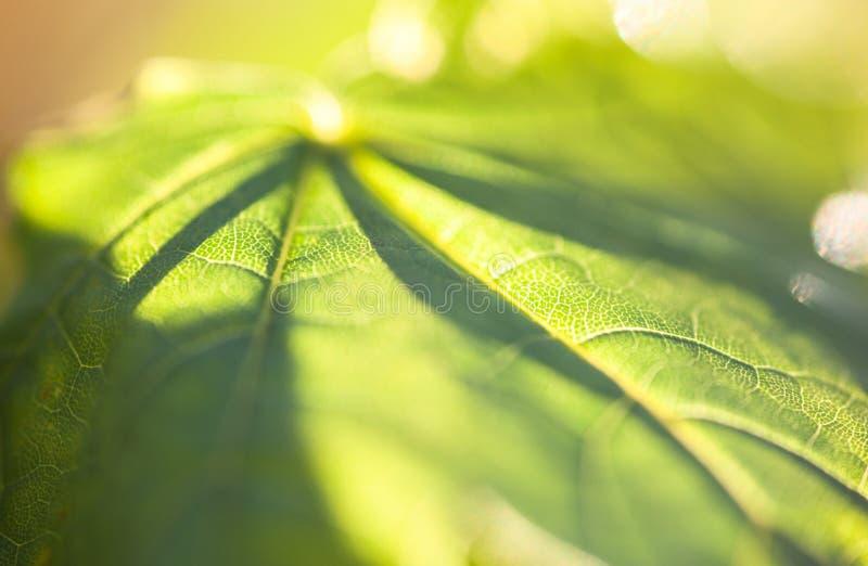 Close up da folha de bordo verde na luz do sol fotografia de stock royalty free