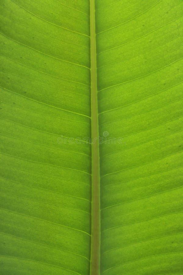 Close-up da folha do elastica do Ficus foto de stock