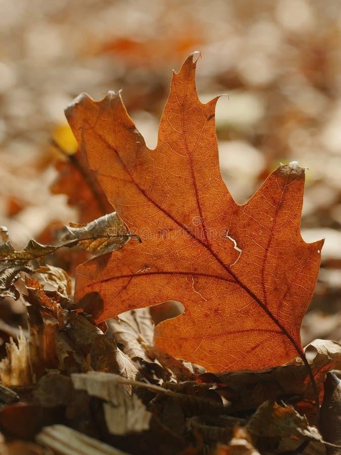 Close-up da folha do outono fotos de stock