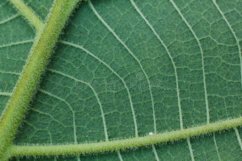 Close-up da folha verde, fundo verde da textura da folha foto de stock royalty free