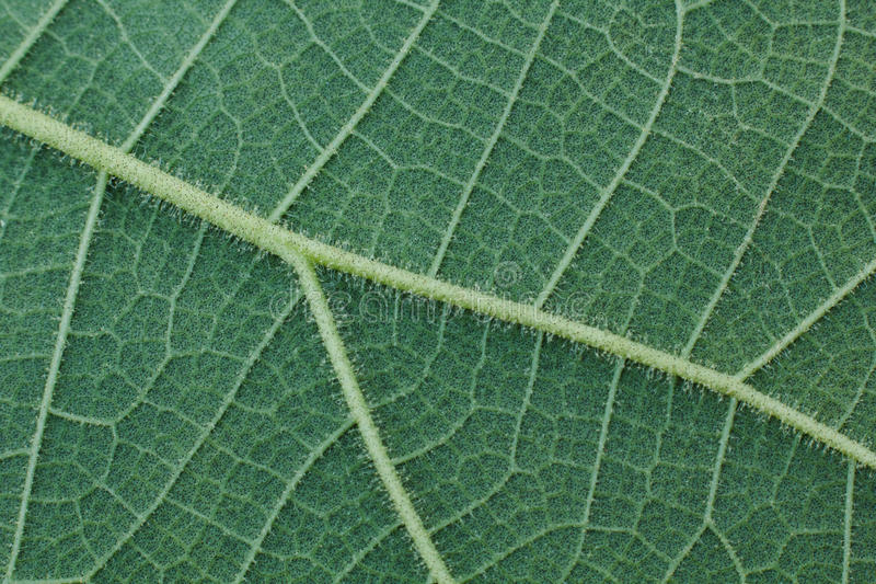 Close-up da folha verde, fundo verde da textura da folha imagem de stock royalty free