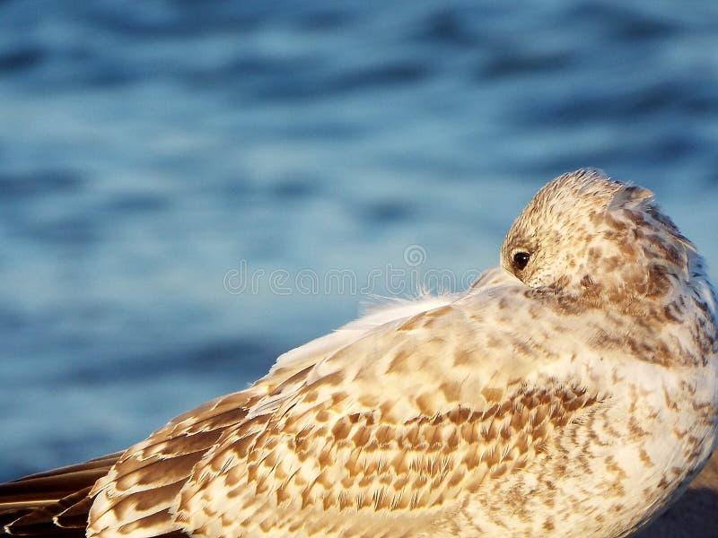 Close up da gaivota de arenques nova com o lago azul no fundo fotos de stock royalty free