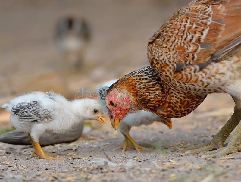 Close up da galinha da matriz de A com seus pintainhos do bebê imagens de stock