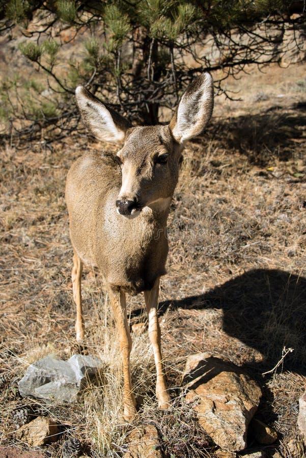 Close up da gama dos cervos de mula no prado gramíneo em Rocky Mountains foto de stock