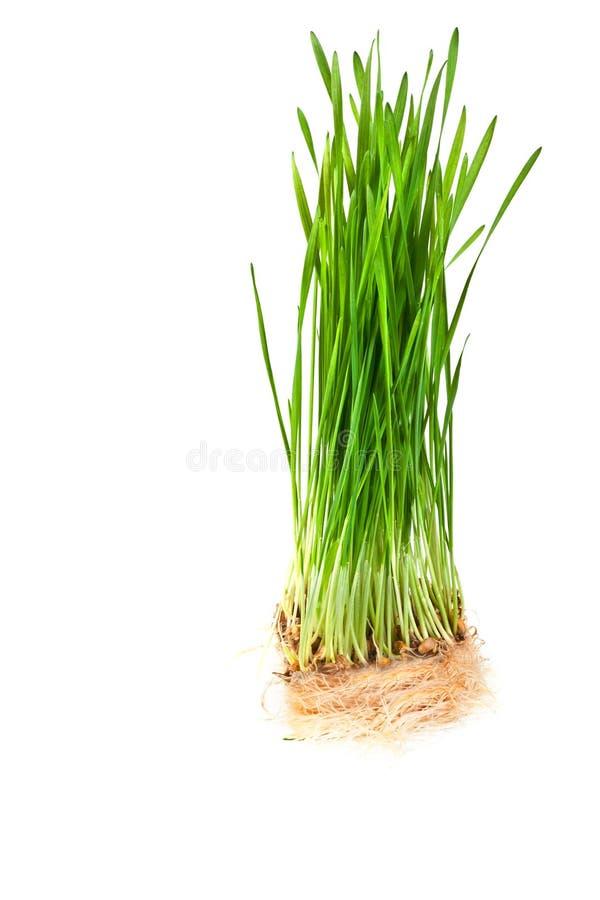 Close up da grama do trigo imagem de stock