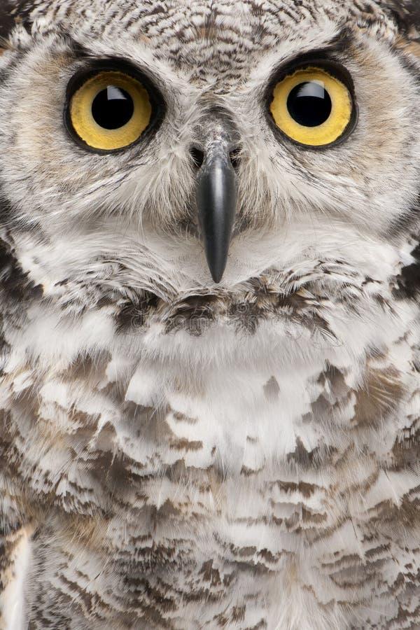 Close-up da grande coruja Horned imagem de stock royalty free