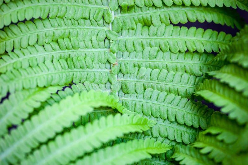 Close up da haste e das folhas verdes da samambaia imagem de stock royalty free