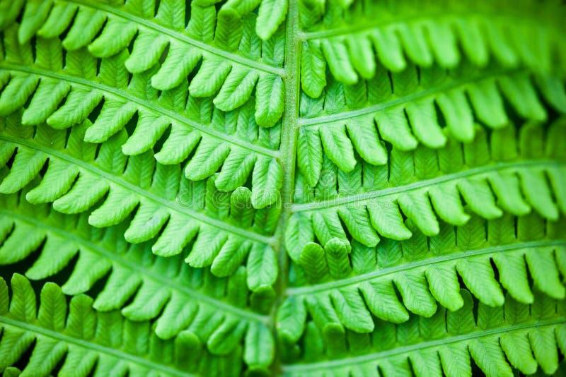 Close up da haste e das folhas verdes da samambaia foto de stock
